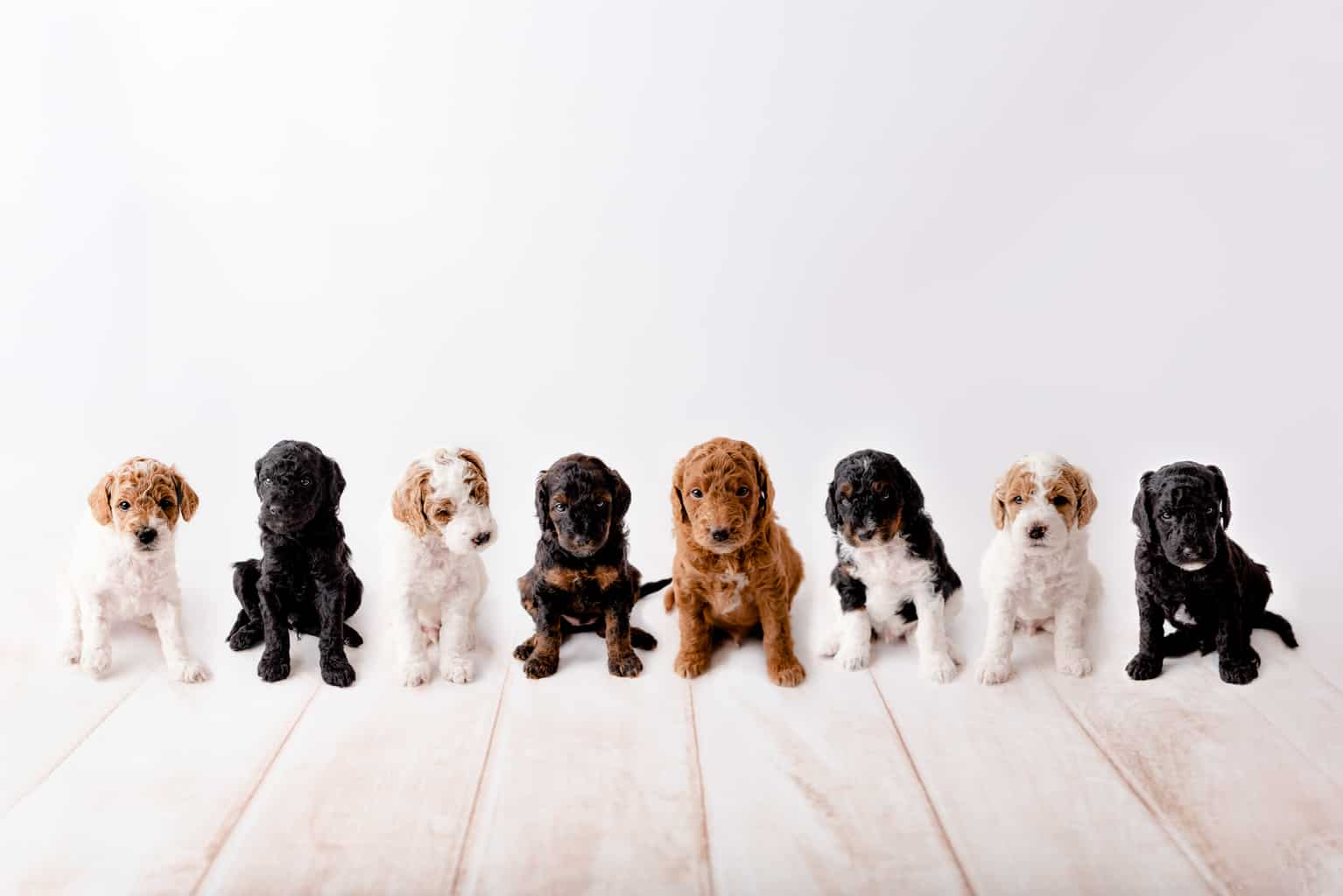Goldendoodle Colors A Complete Guide