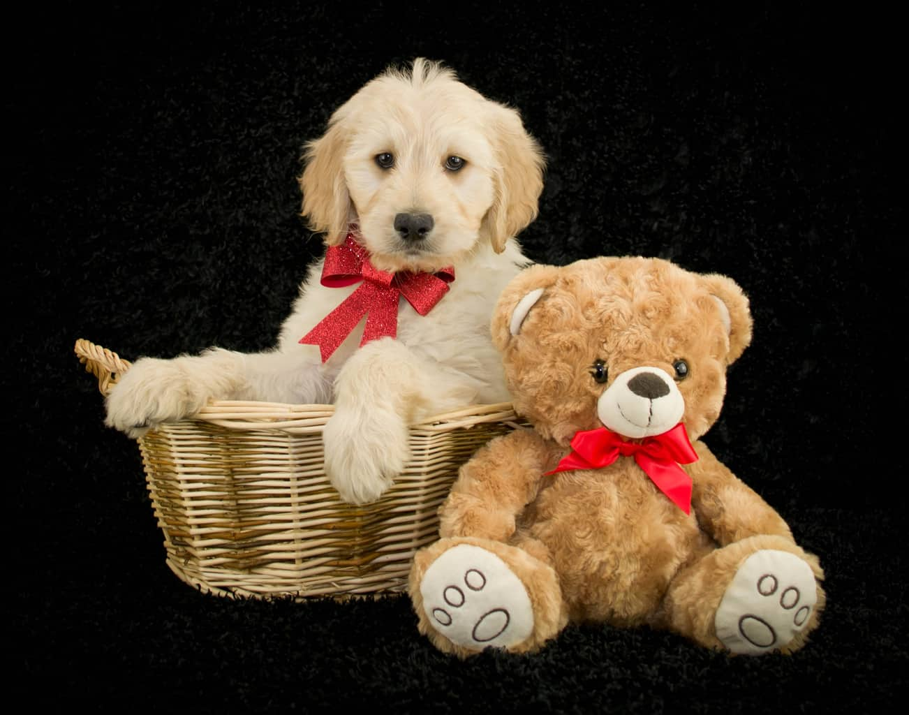Teddy Bear Goldendoodle Vs Goldendoodle The Differences Explained